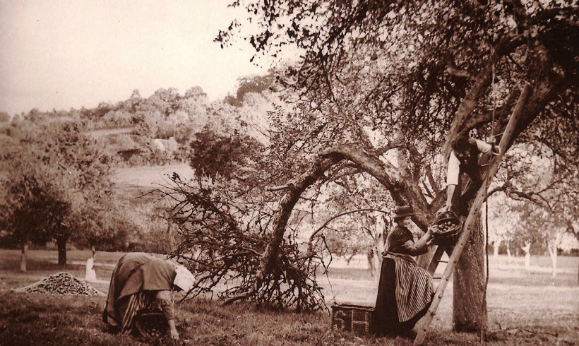 'Harvesting the Apples%22 3 reproduced sepia-tone prints of Herefordshire autumn 1908 from collection of Hereford Cider Museum Trust